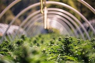 Municipal Barriers to Cannabis Enterprises